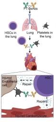antibody-therapy-to-treat-heart-attacks